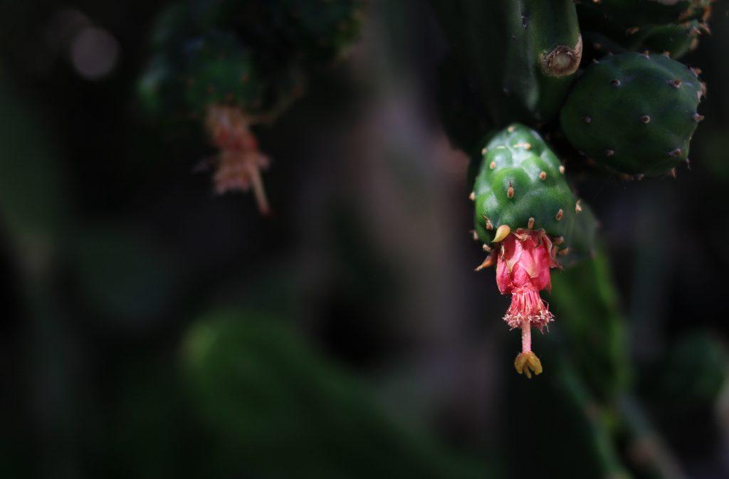 semilla-higo-chumbo