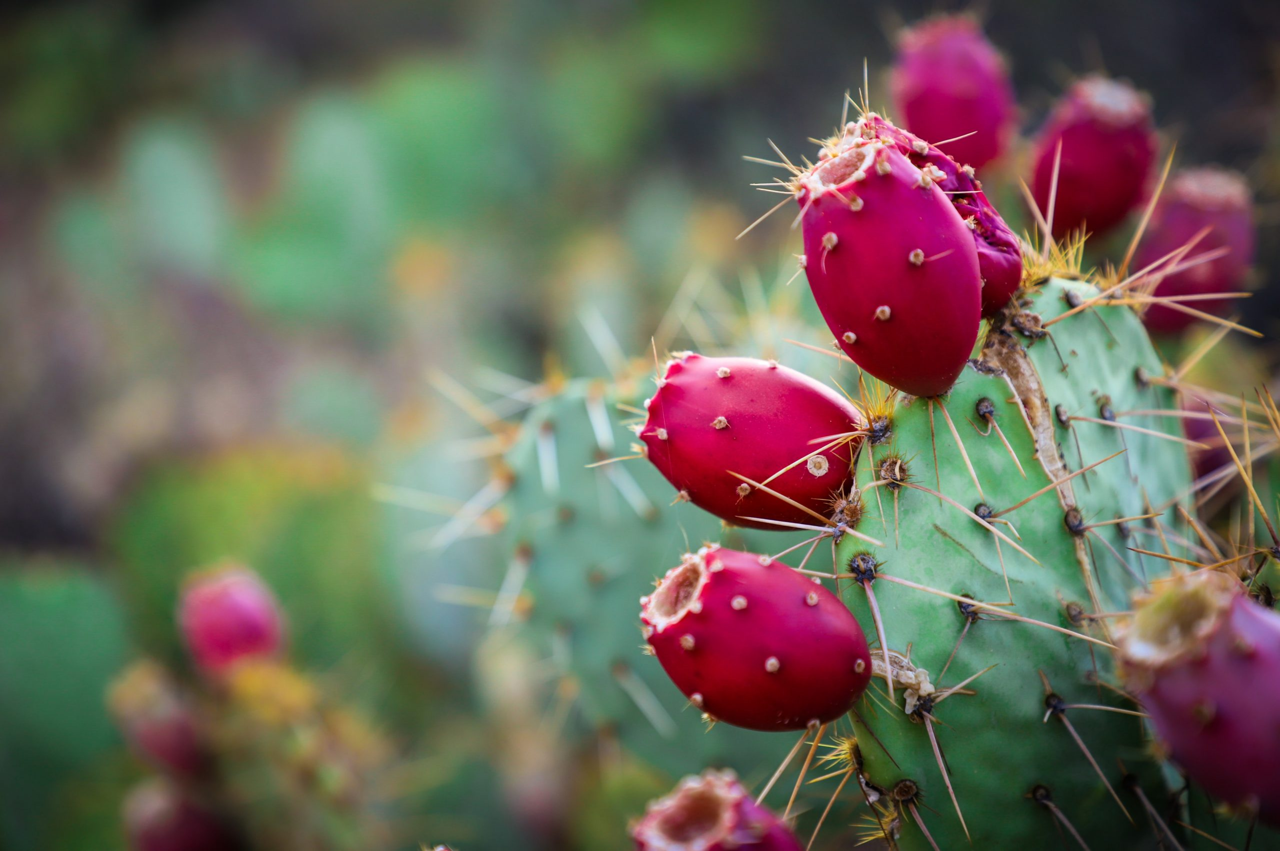 prickly-pear-oil