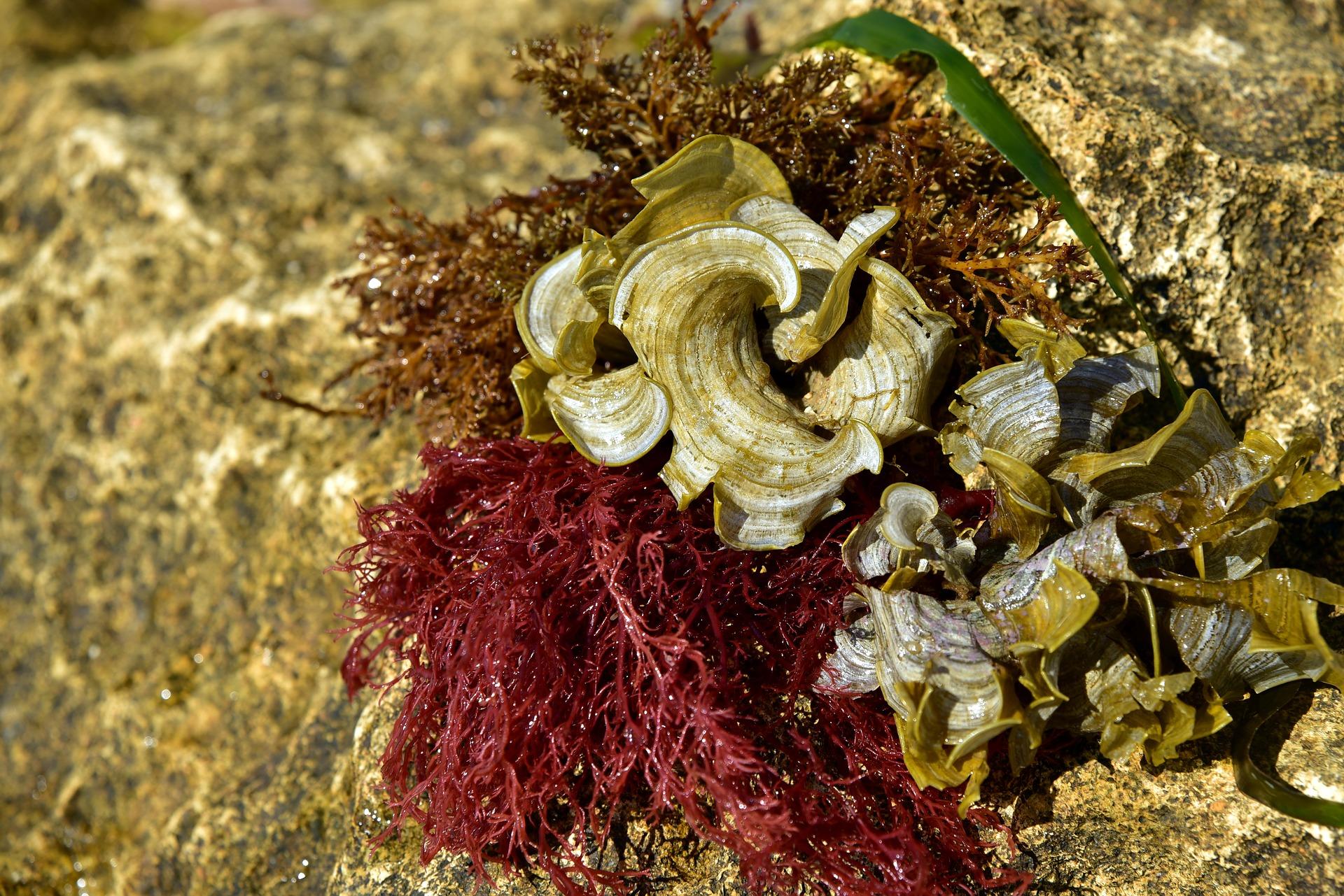 alga-chondrus-crispus