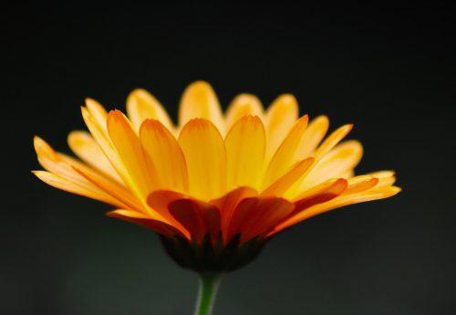 marigold-extract