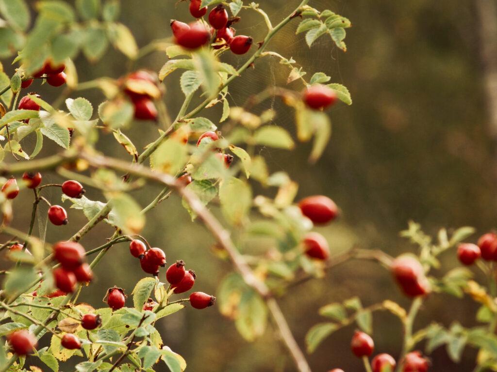 rosehip oil properties